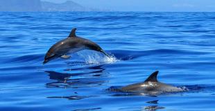 Nager avec les dauphins en Méditerranée : idée de voyage pour le CSE